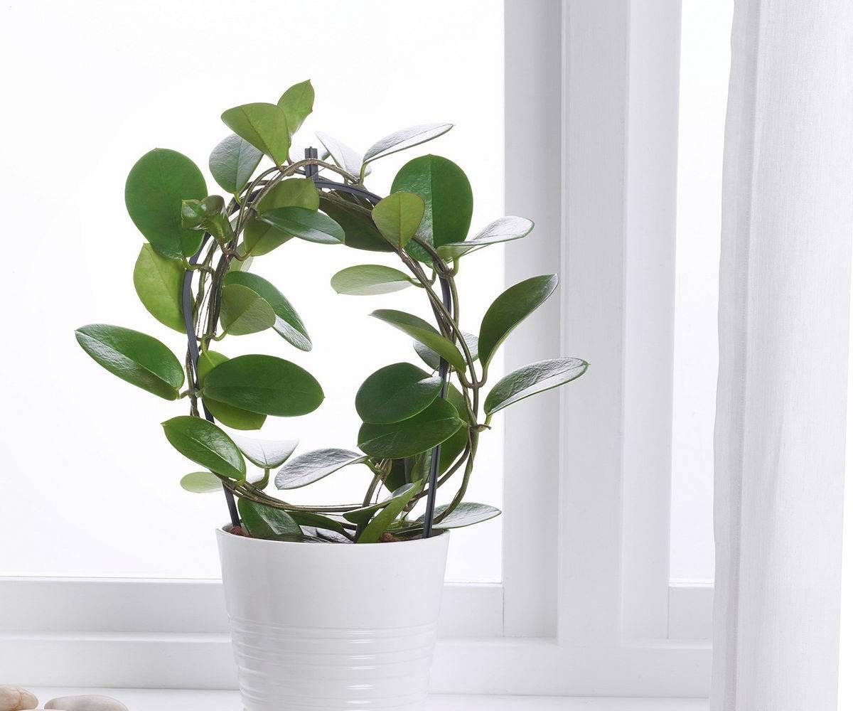 Хойя (hoya). уход, размножение, формирование, цветение. | floplants. о комнатных растениях