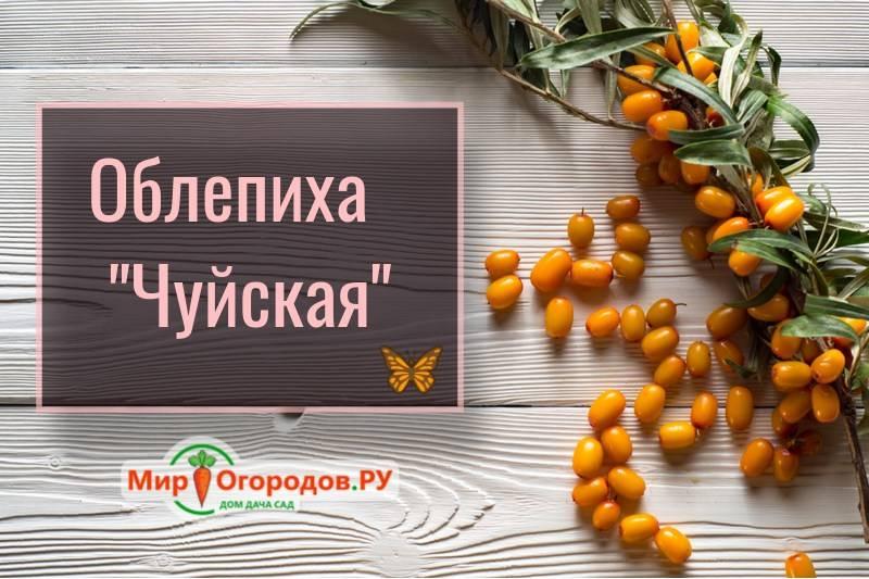 Сорт облепихи чуйская — описание и выращивание