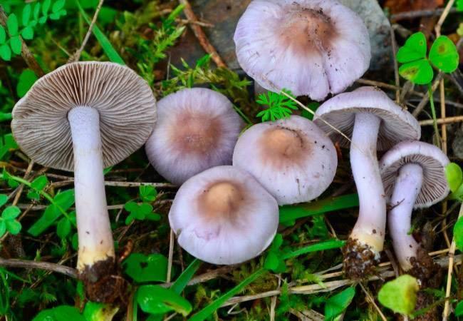 Гриб волоконница (inocybe): ядовитый гриб, содержащий яд мускарин