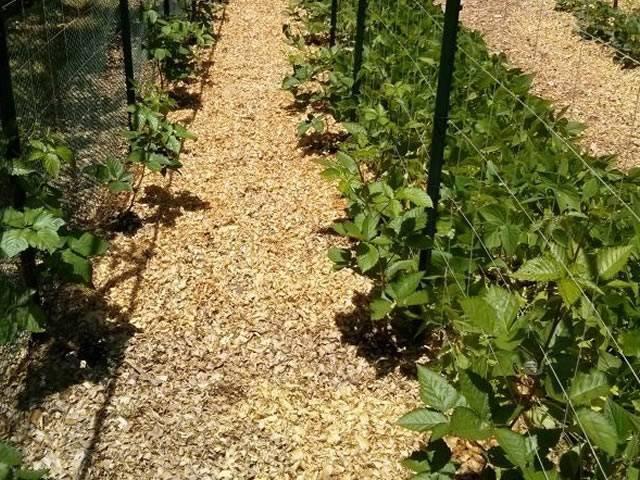 Ежевика прайм арк фридом: особенности выращивания и уход