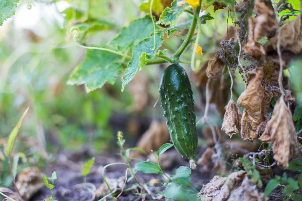 Огурцы: почему сохнут в теплице и на огороде