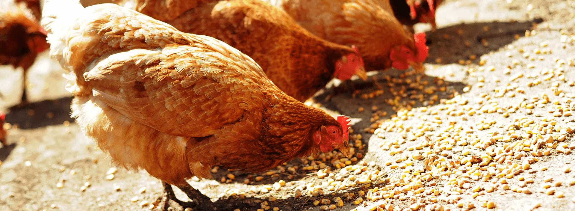 Бройлеры – выращивание в домашних условиях с нуля: кормление, породы, технология