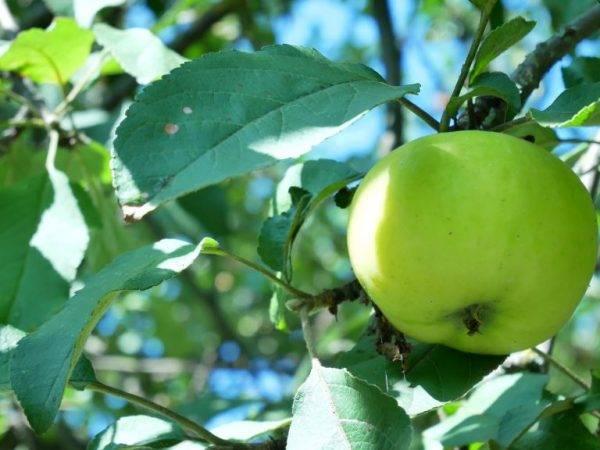 Яблоко: бжу (содержание белков, жиров, углеводов), калорийность, питательная ценность и польза