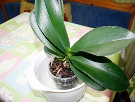 Уход за орхидеями для новичков: как правильно поливать, выращивать и пересаживать цветок начинающим цветоводам, фото и видео от специалистов