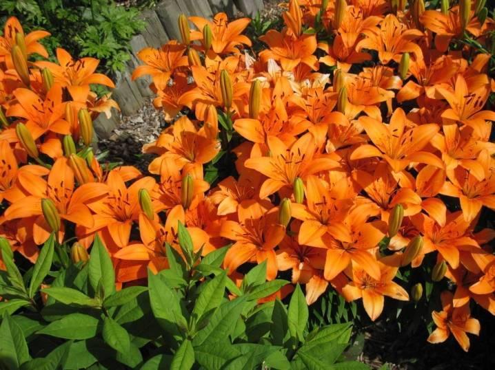 Сортовые лилии в открытом грунте на урале, цветение и описание цветка, особенности выращивания и ухода, рекомендации и решение проблем, лилия разных сортов фото в ландшафте