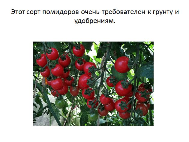 Томатное дерево спрут f1 - сажать или не сажать?