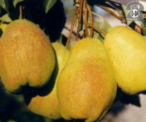 Груша сказочная - осень - груша - плодовые