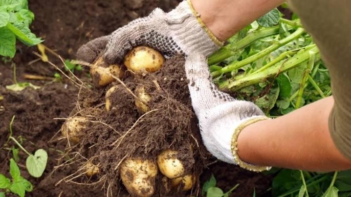 Березовый деготь от колорадского жука на картофеле и томатах