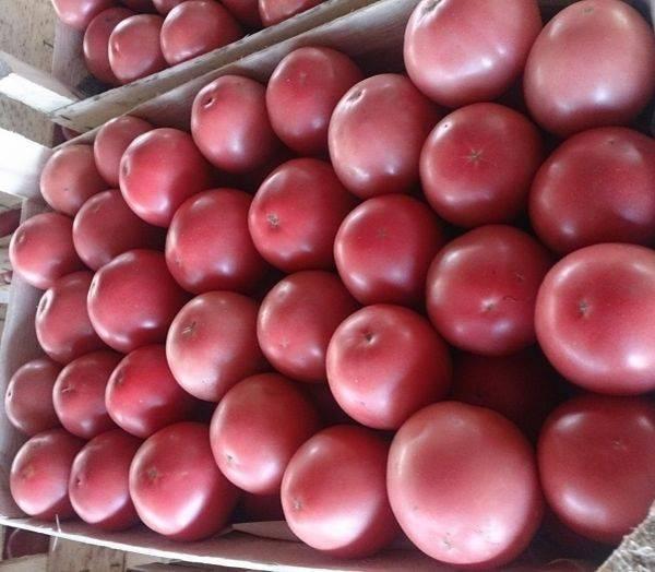 Розовый томат для теплицы пинк парадайз f1: достоинства и недостатки