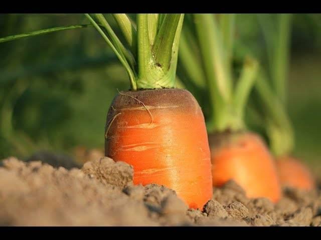 Посадка моркови семенами - пошаговое руководство для новичка