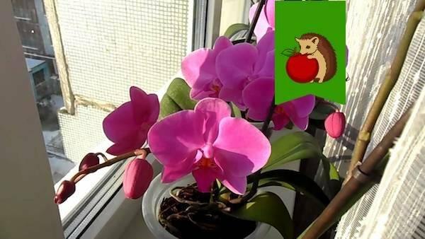 Нужно ли пересаживать орхидею с цветоносом в обычную землю сегодня, когда она выпустила стрелку?