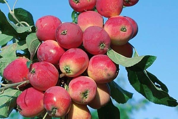 Яблоня китайка: характеристики сорта и выращивание