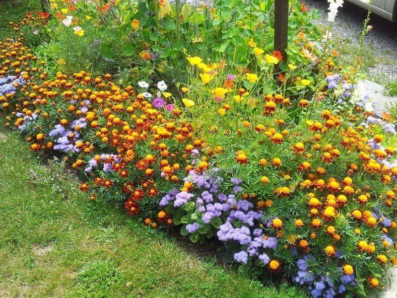 Агератум посадка и уход в открытом грунте, фото в ландшафтном дизайне, подкормки и полив растения