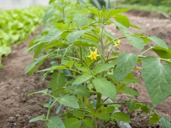 Спасатель спасает урожай томатов – проверено!