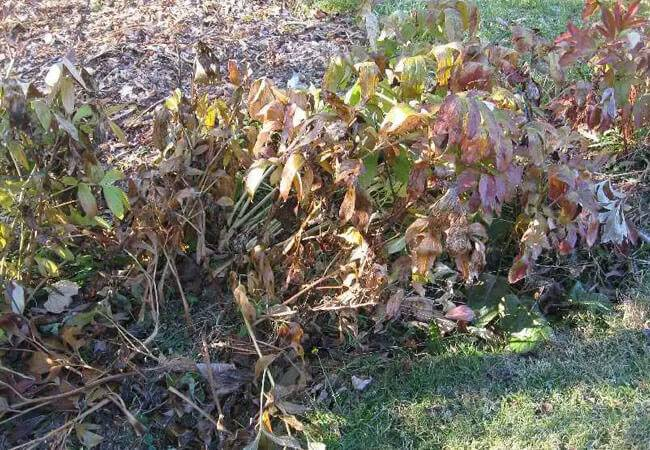 Особенности ухода за пионами осенью: подготовка к зиме, пересадка, подкормка и обрезка