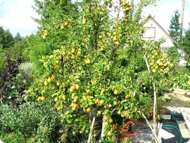 Как посадить и пересадить яблоню весной