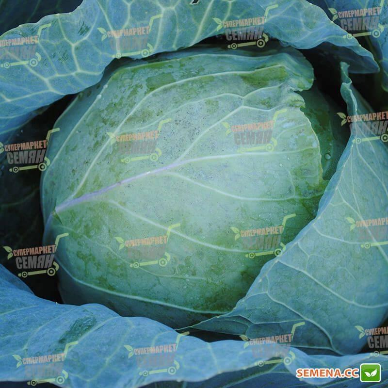Капуста магнус f1: описание, урожайность сорта, отзывы, фото