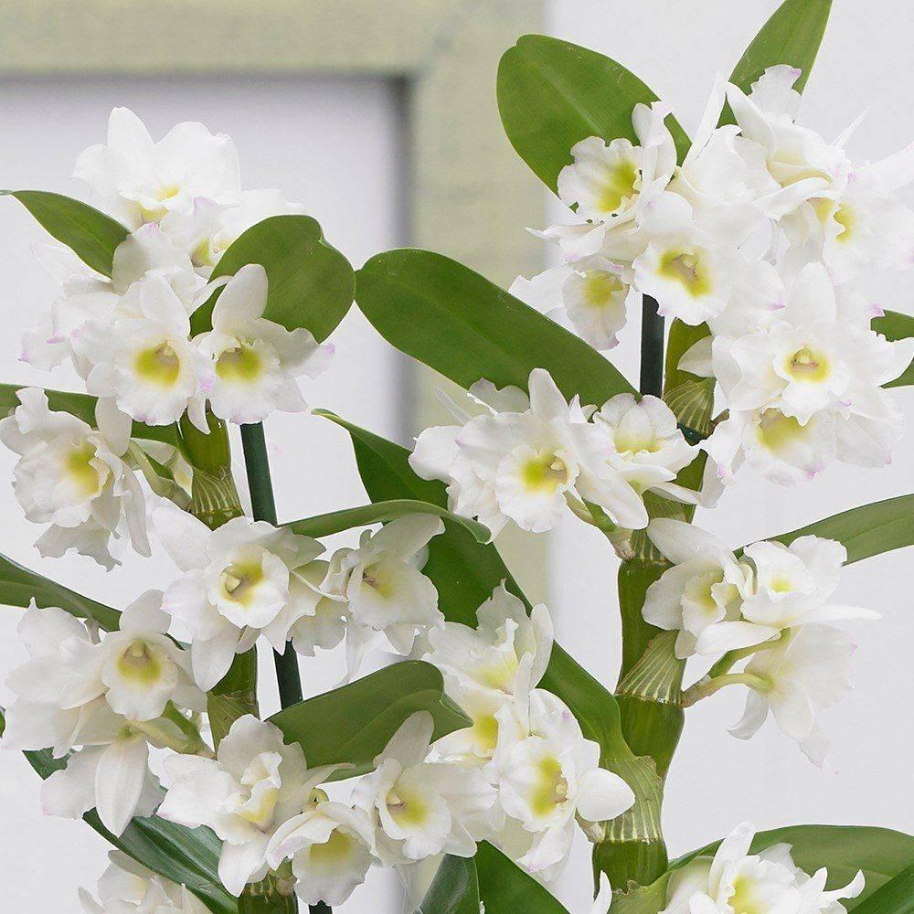 Как заставить орхидею выпустить цветонос: почему эпифит не даёт стрелки, что сделать, если побег замер, и могут ли несколько стеблей расти вверх в домашних условиях? selo.guru — интернет портал о сельском хозяйстве