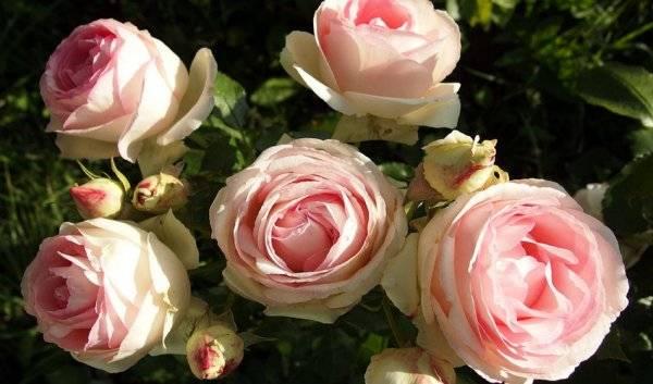 Как посадить розу черенком из букета: инструкция для начинающих