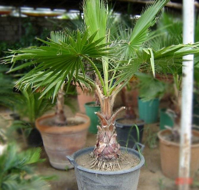 Пальма вашингтония (28 фото): уход в домашних условиях за комнатными растениями. нитеносная и робуста