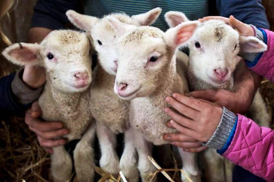 Кормление ягнят искусственным методом – нормы принятия пищи животными разного возраста