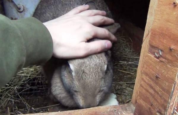 Беременность кроликов