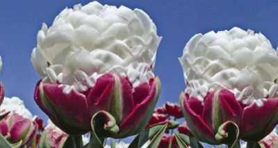 Тюльпаны пломбир фото — сад и огород
