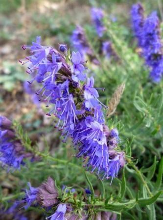 Иссоп: выращивание и уход открытом грунте, лечебные свойства