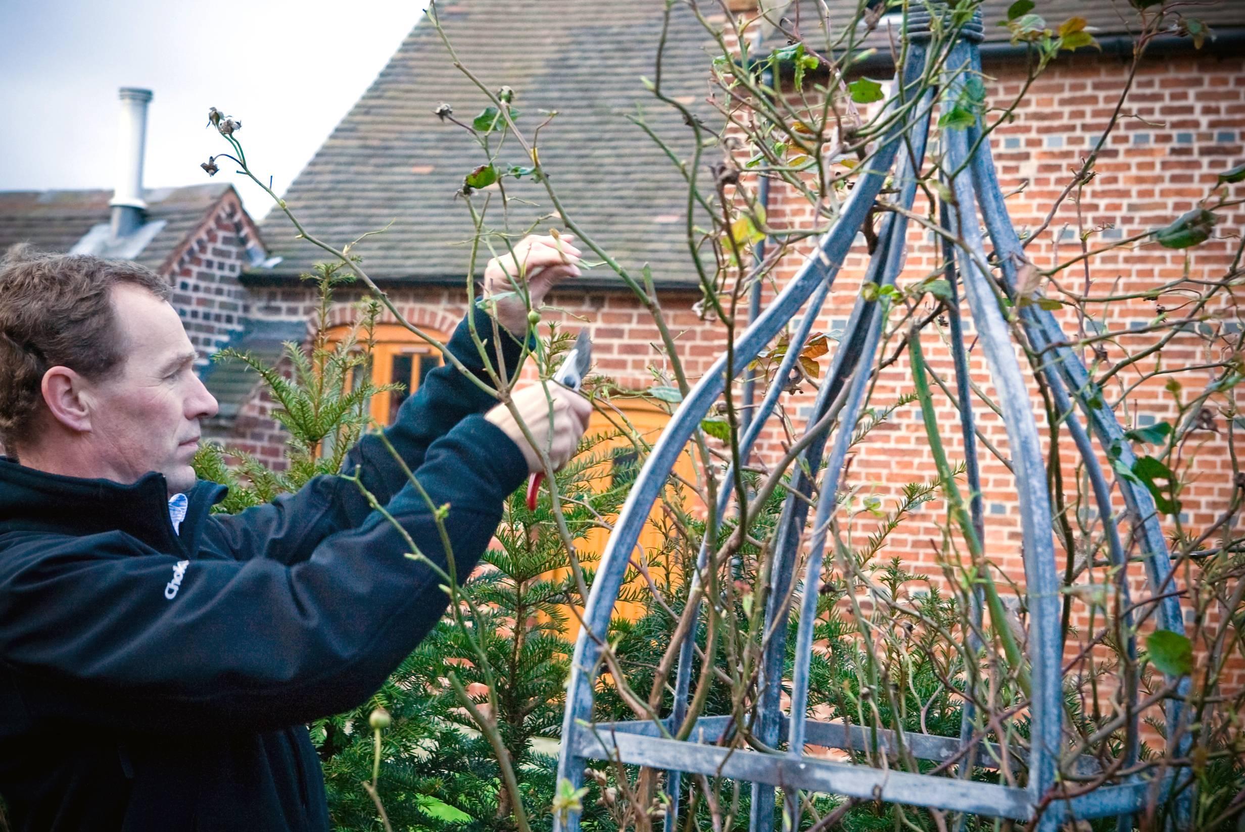 Уход за плетистыми розами осенью и подготовка к зиме