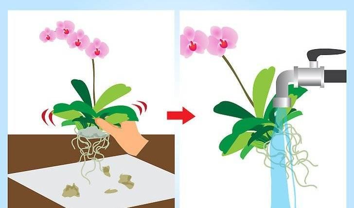 Можно ли пересаживать цветущую орхидею или в то время, когда у неё есть бутоны, и видео, как это сделать в домашних условиях