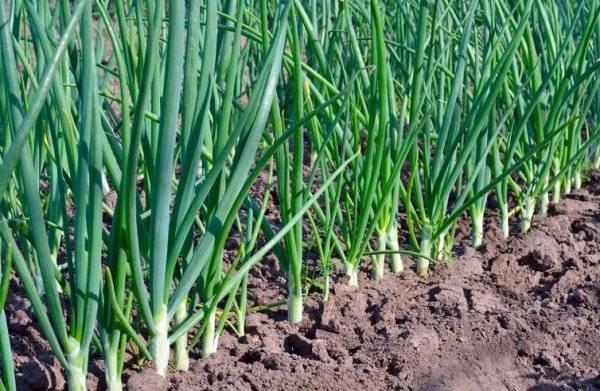 Подкормка лука весной и летом для достижения высокой урожайности