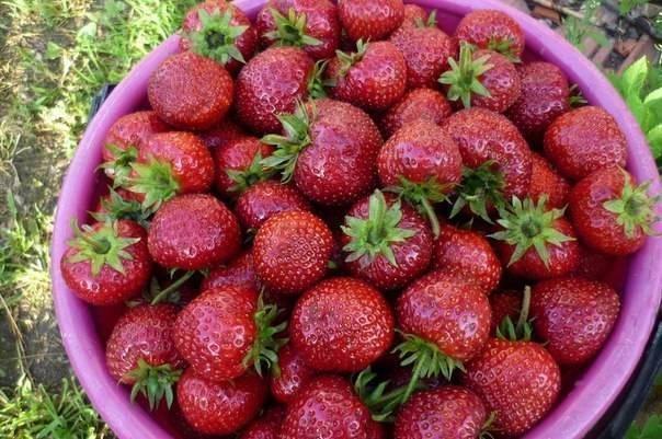 Самые лучшие вкусные сорта клубники с фото, описанием, отзывами ранние урожайные новые
