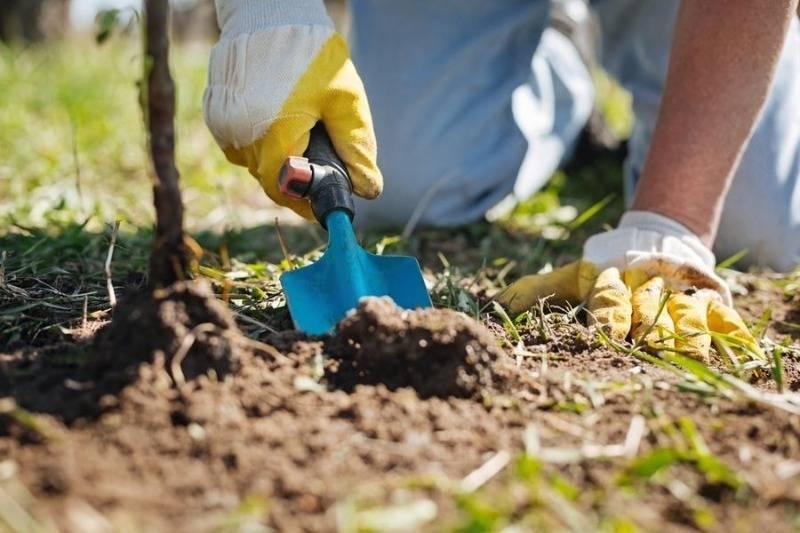 Эффективное и простое удобрение древесная зола: применение на огороде и в саду
