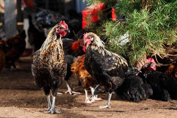 Московская белая порода кур - советы фермеров