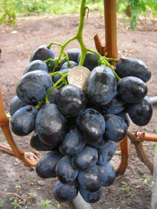 Виноград янгар - описание сорта