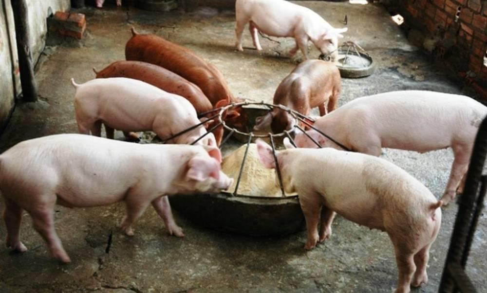 Поилки для свиней своими руками: фото, чертежи, оригинальные идеи и видео материалы по изготовлению