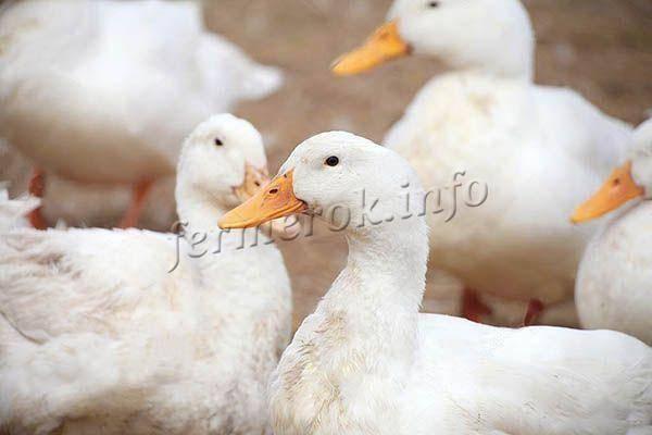 Утка кросса темп — белорусская бройлерная: описание породы, выращивание, питание и содержание птицы