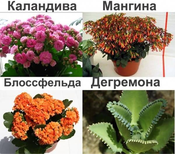 Каланхоэ: виды, фото и названия. как выращивать каланхоэ - sadovnikam.ru