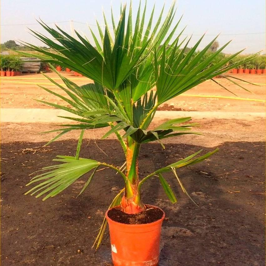 Вашингтония - необходимый уход за пальмой и советы по ее применению в дизайне (140 фото)
