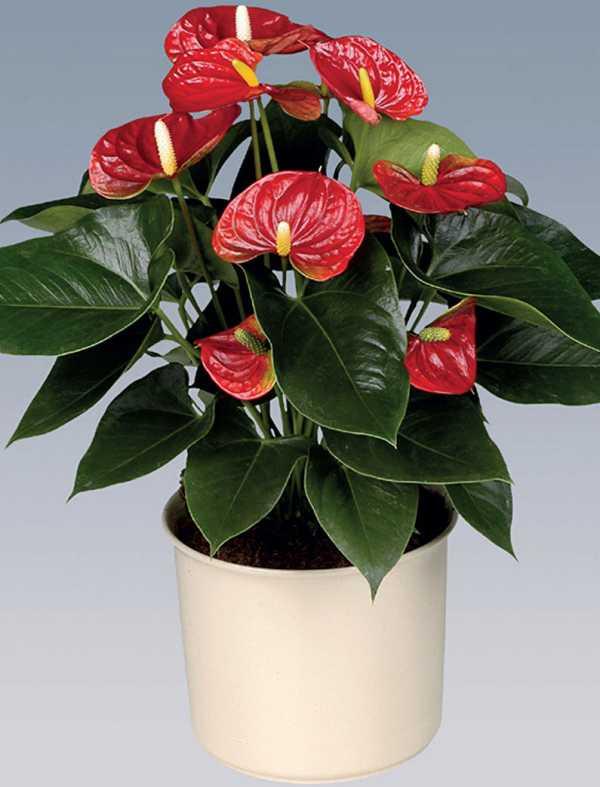 Цветы женское и мужское счастье вместе: фото спатифиллума и антуриума, можно ли держать их рядом, посадить в один горшок и как ухаживать за таким дуэтом