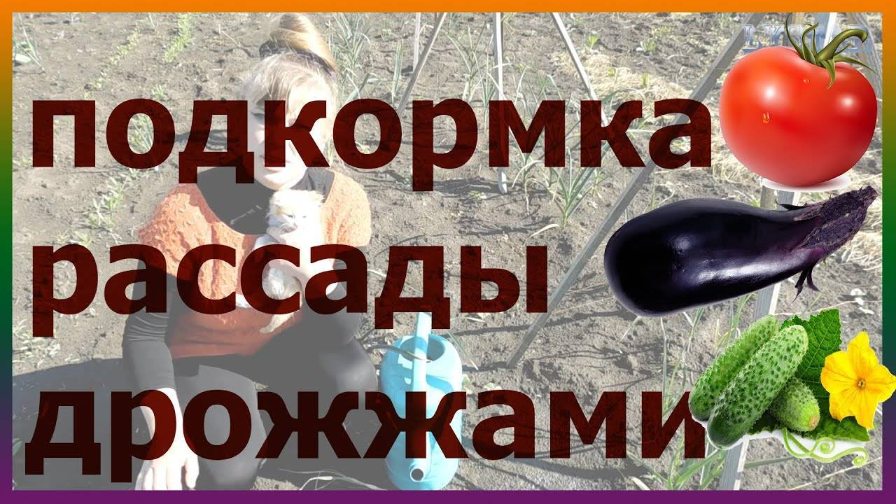 Подкормка огурцов дрожжами, отзывы и рецепты от профессионалов, фото