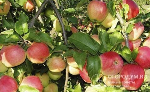 Непривередливая яблоня свежесть: описание, фото