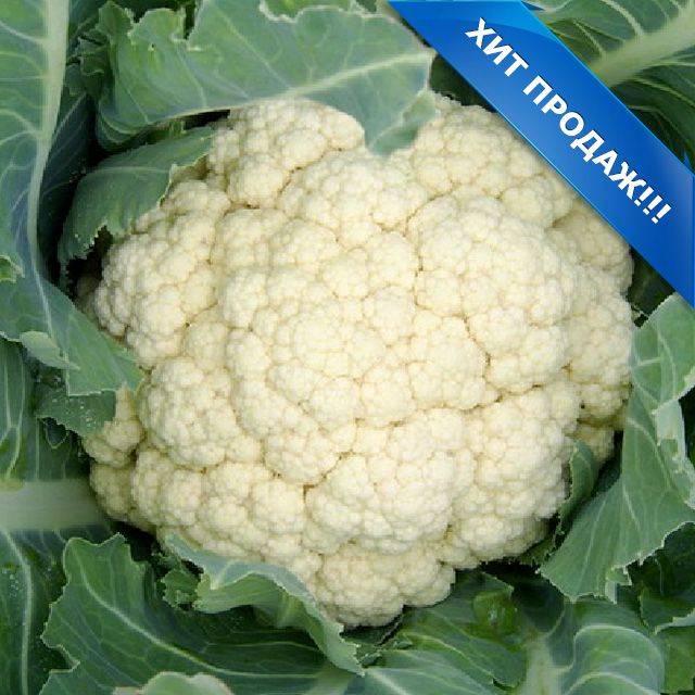 Запастись витаминами просто с цветной капустой снежана f1: отзывы и описание сорта