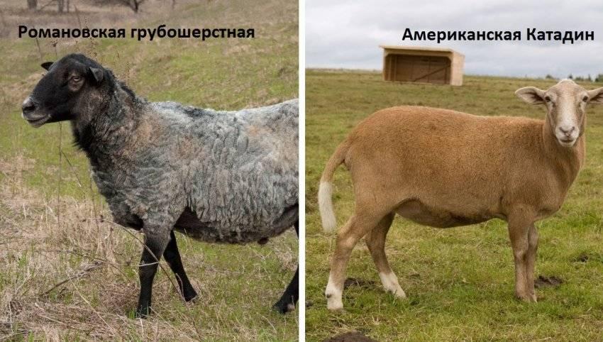 Катумские овцы: описание и характеристики породы, особенности содержания