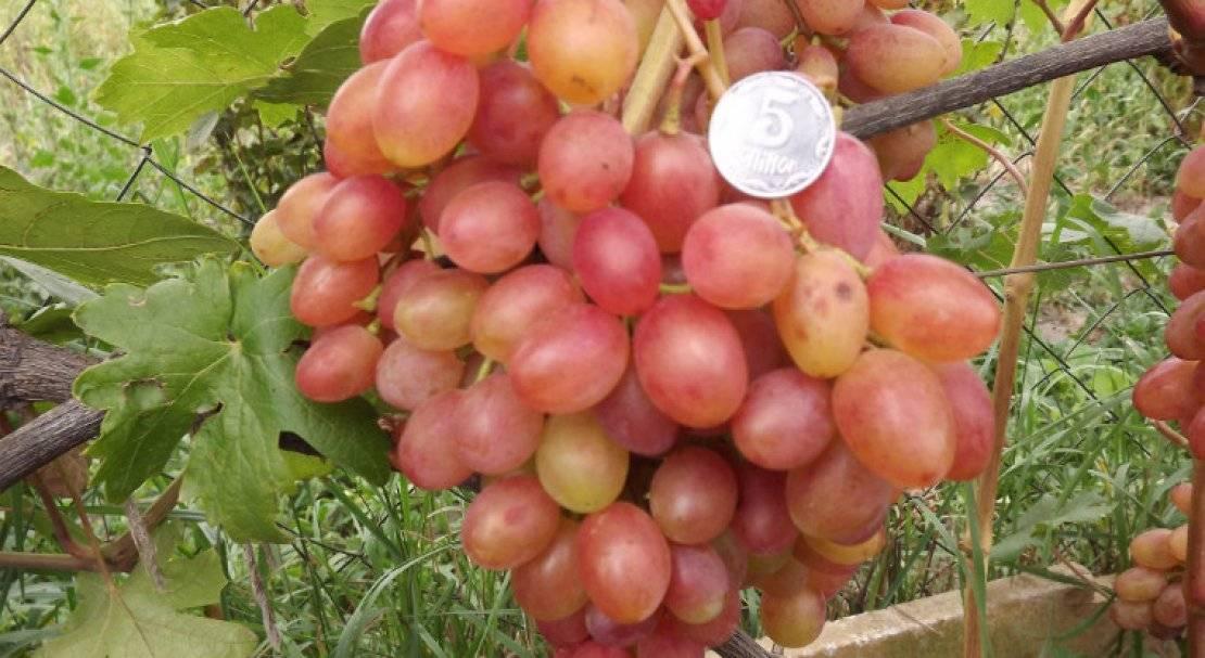 Виноград румба: описание сорта, выращивание, уход и отзывы