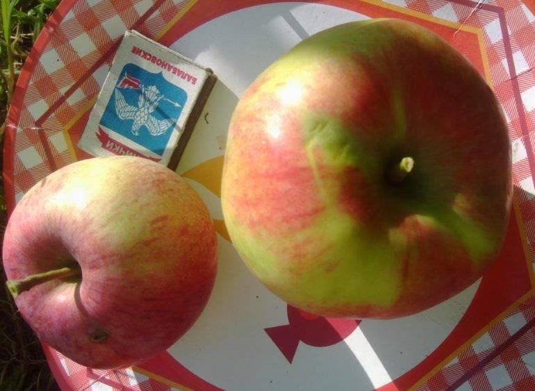 Яблоня мельба: описание сорта и советы по выращиванию