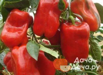 Как правильно выращивать урожайный перец «сибирский бонус» с яркими и невероятно вкусными плодами