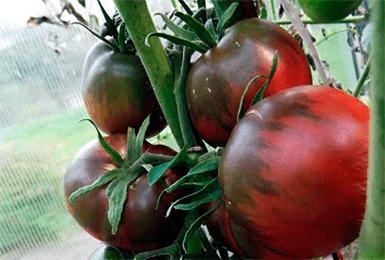 Описание и особенности выращивания томата маруся