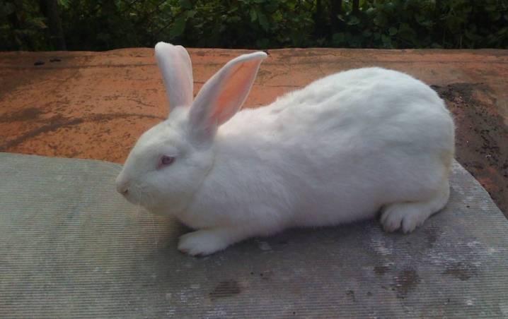 Кролик белый паннон: описание породы, разведение, фото