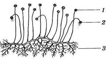 Плесневый гриб мукор польза и вред
